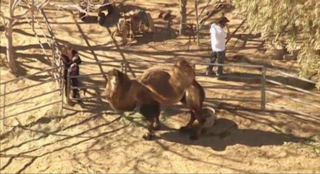 Escaped camel injured man, chased cars in rural Los Angeles County